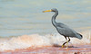 Eastern Reef Egret at BBO_3257 by Jen Crowley Photography