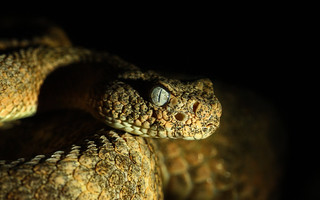 Tiger rattlesnake (Crotalus tigris) | by phl_with_a_camera1