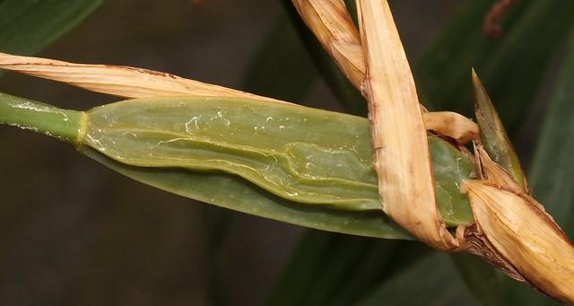 Orchid (Coelogyne nitida) pseudobulb