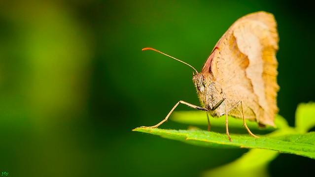 Butterfly - 3353