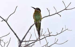 Madagascar Bee-eater (Merops superciliosus) | by mitchberk