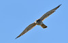 Nankeen Kestrel - got to be a meal here somewhere by Free_aza_Bird