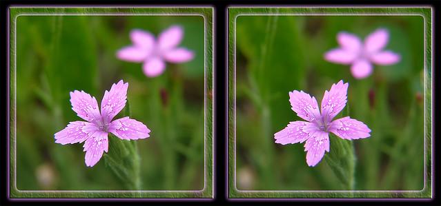 Wildflower 2 - Crosseye 3D