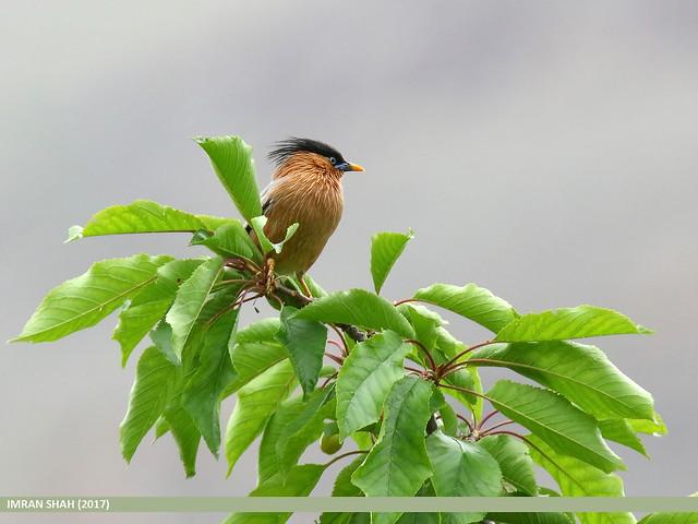 Brahminy Starling (Sturnia pagodarum)
