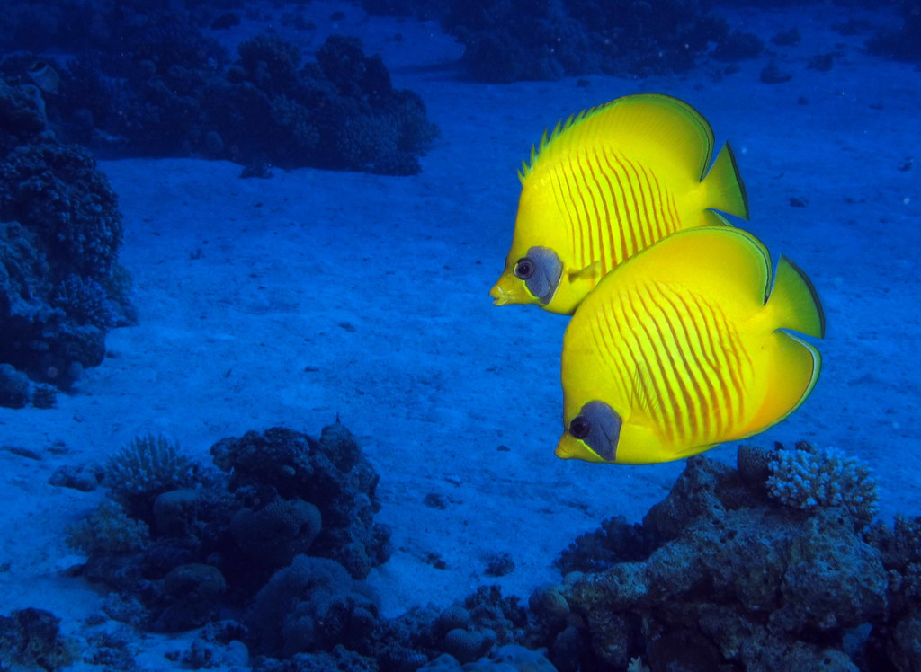 Yellow in  the blue: a pair of Masked Butterflyfish
