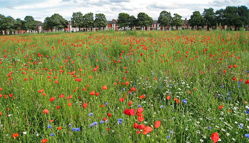 Poppies in Walton Hall Park, July 2017