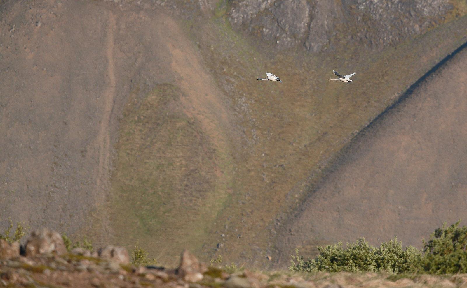 Whooper Swans in landscape