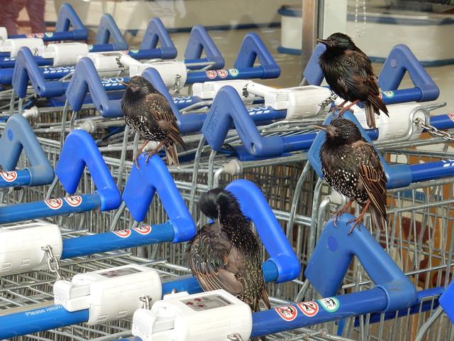 Those birds outside Tesco...