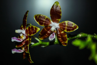 Phalaenopsis venosa x speciosa   by Markus Branse
