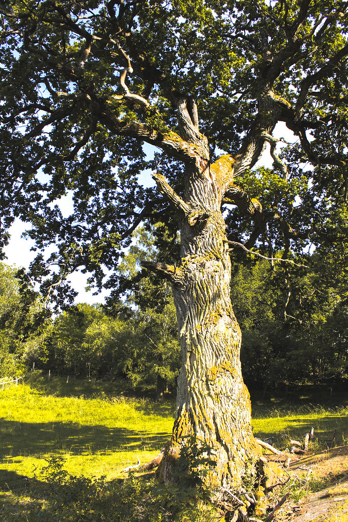 Norr Malma's tree