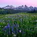 Tatoosh Range and Mount Rainier Wildflowers