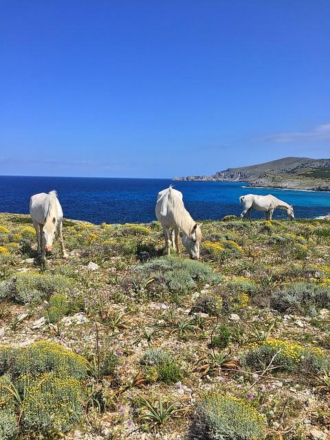 Wild horses @ Arta Coast, Mallorca, Spain [2016]