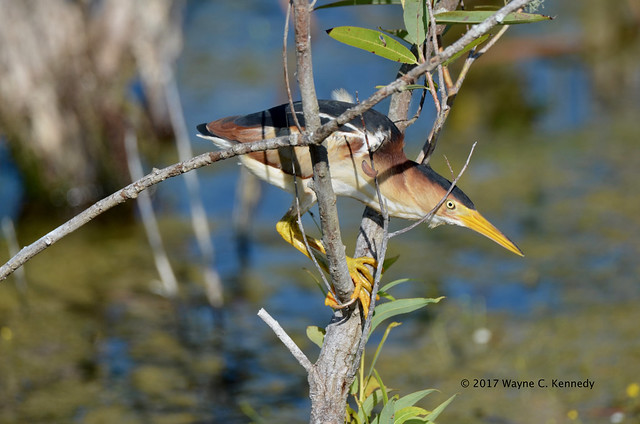 Least Bittern posed to strike at NLAWD