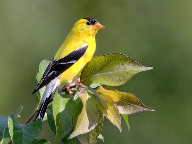 American Goldfinch 08-20170728