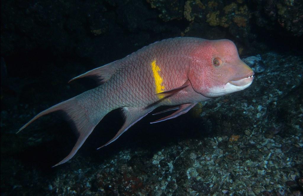 Humphead wrasse in Galapagos.