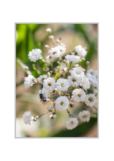 Insekt-auf-Schleierkraut