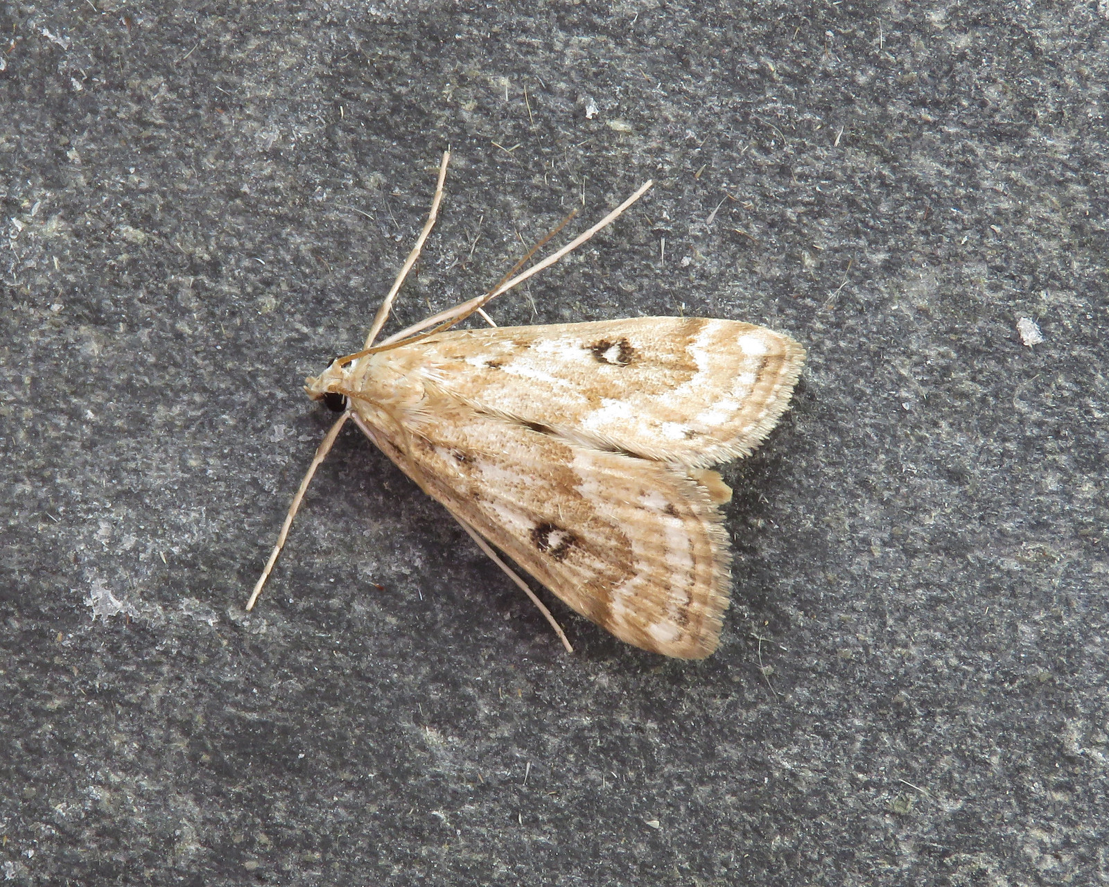 63.117 Ringed China-mark - Parapoynx stratiotata