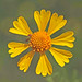 Bitterweed - Photo (c) Jerry Oldenettel, some rights reserved (CC BY-NC-SA)