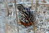 Barred buttonquails by shivanayak