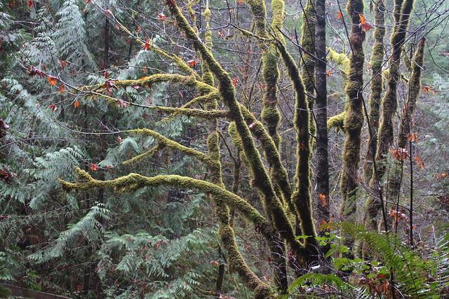 Mossy maple tree