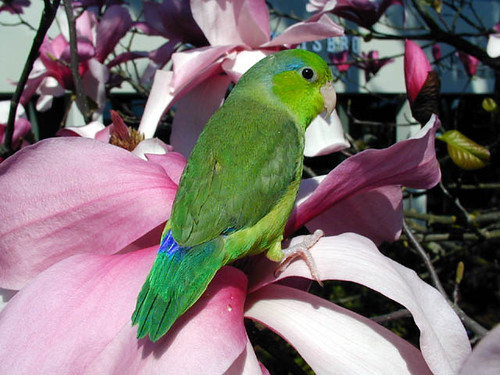Rowdy (Pacific Parrotlet) | by Geek2Nurse