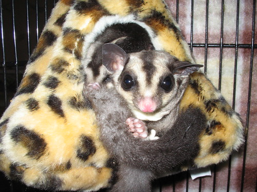 Our Sugarglider, Ginger