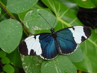 Heliconius sapho | by KaliNow