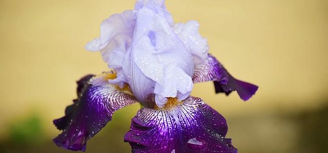 Bicolor Bearded Iris II