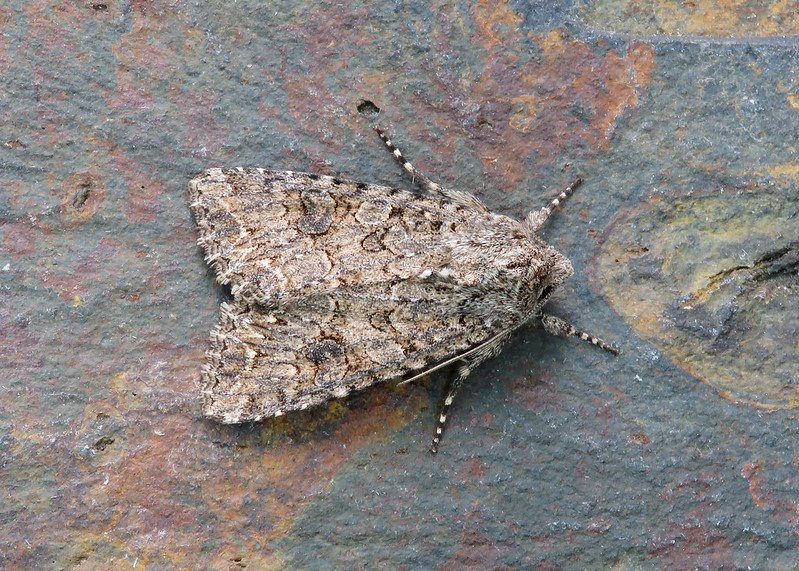 73.255 The Nutmeg - Anarta trifolii