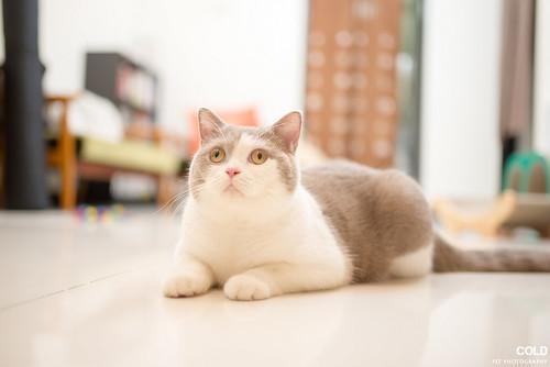 [台北 寵物攝影] 英國短毛貓 蘇格蘭摺耳貓 | by cold0328
