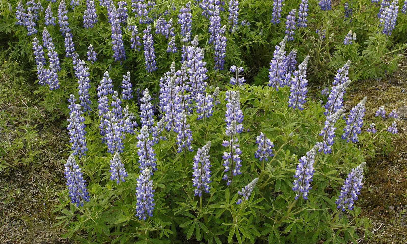 Lupins are everywhere!