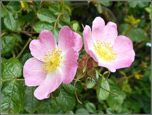 Wild Roses...