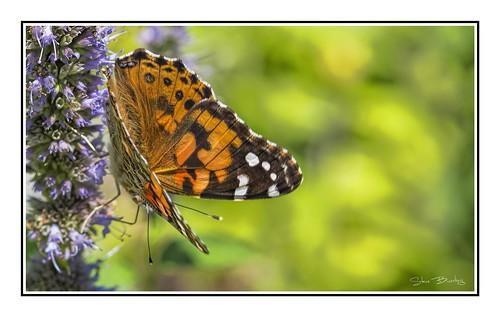 select paintedlady butterfly canarycreek greatmarsh lewes macro topaz