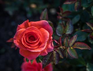 Candelabra, Duluth Rose Garden | by Sharon Mollerus