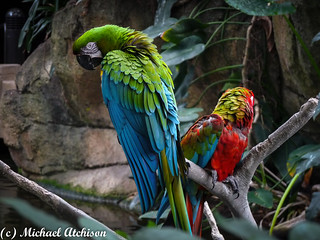 Macaws Looking at You | by AtchisonGallery