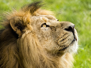 Lion | by Dell's Pics