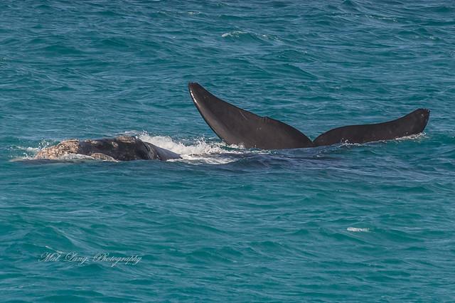 Southern Right Whale ( Eubalaena australis )