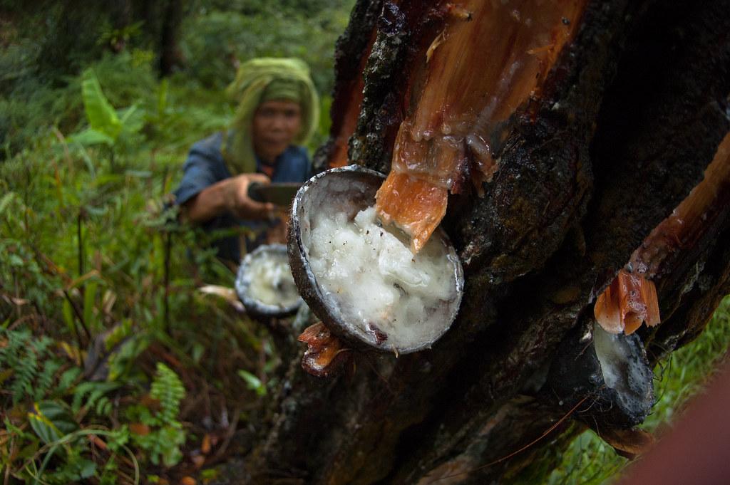 pine latex Is sap