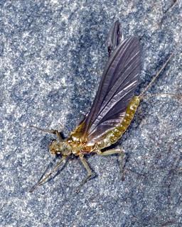 Mayfly (Just Emerged)