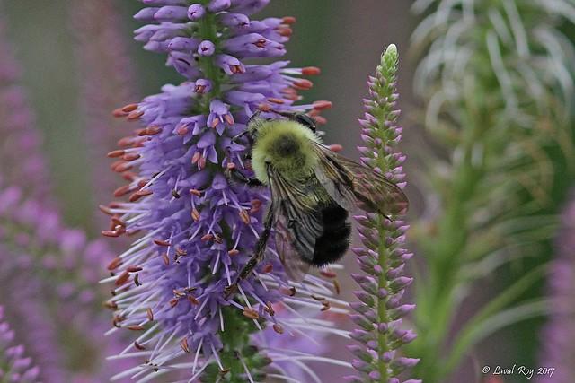 Bourdon fébrile / Bumbus impatiens / Common eastern bumble bee