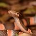 Culebra Ojo de Gato de Selva - Photo (c) Andrew DuBois, algunos derechos reservados (CC BY-NC)