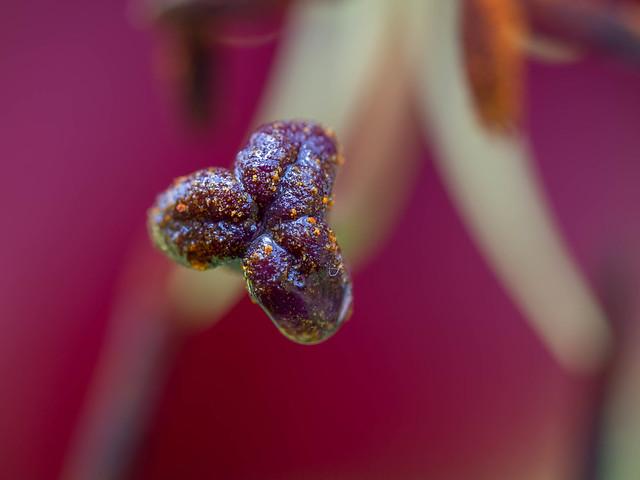 Purple lily stigma