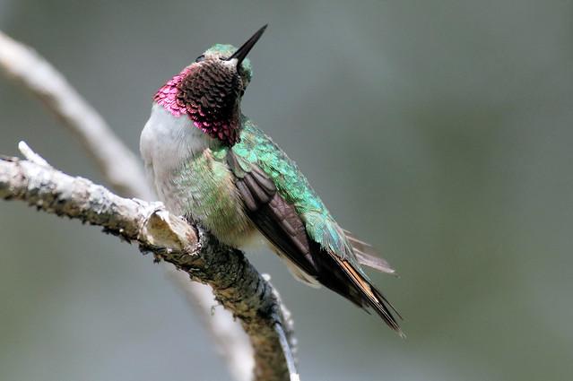 My Best Side -- Broad-tailed Hummingbird -- Male (Selasphorous platycercus); Santa Fe National Forest, NM, Thompson Ridge [Lou Feltz]