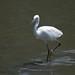 コサギ(Little egret)