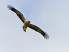 Whistling Kite - Haliastur sphenurus by Trace Connolly Photography