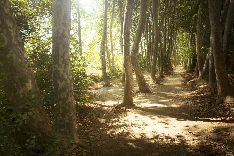 El bosque  de plataneros _DSF1252