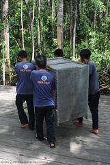 Orangutan Release