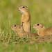 European Ground Squirrel - Photo (c) Ján Svetlík, some rights reserved (CC BY-NC-SA)