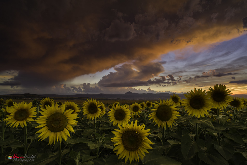 Sunset on sunflowers field's before the storm