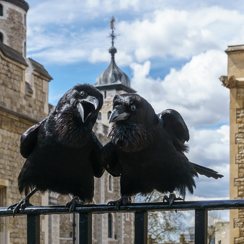 An image of the ravens at the Tower of London.